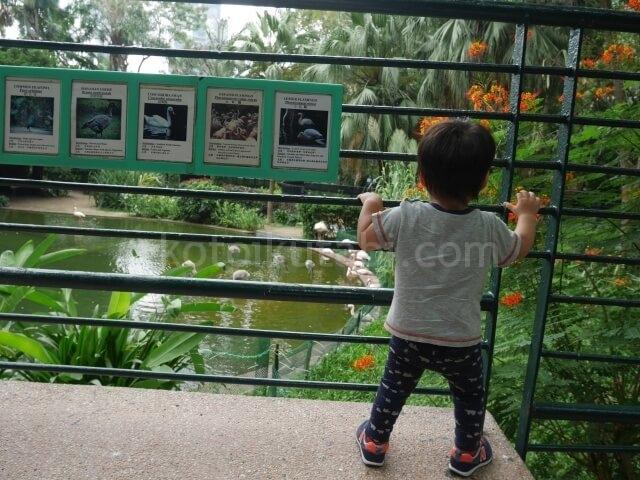 九龍公園のフラミンゴに夢中な息子